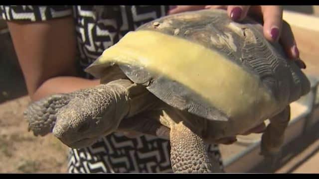 83 Desert Tortoises up for Adoption in Arizona