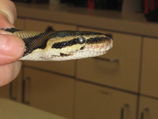 Retained Eyecaps In Reptiles Causes And Solutions