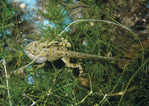 The European Green Toad