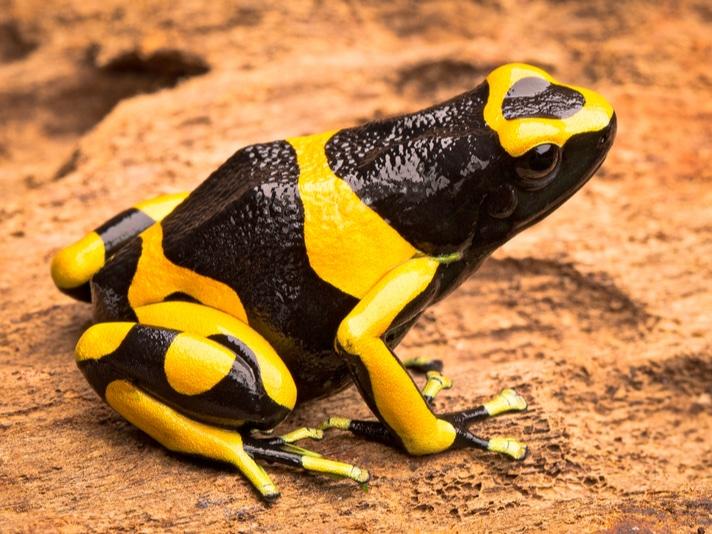 Breeding The Bumblebee Dart Frog