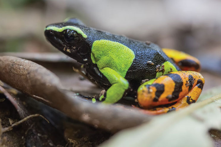 Painted Frogs Of Madagascar