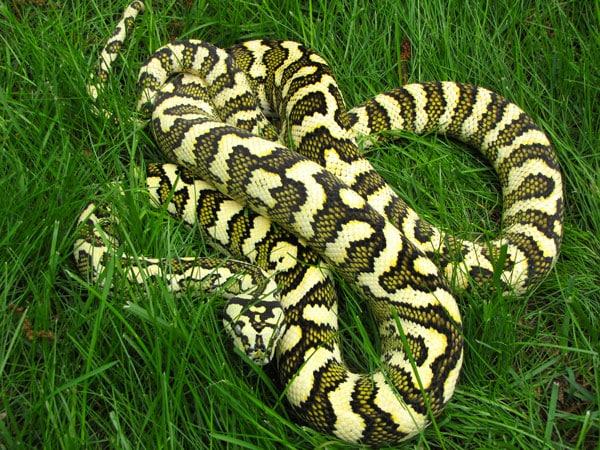 Carpet Python Care Sheet