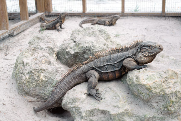 Cuban Rock Iguana Care Tips