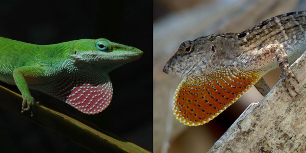 Green Anoles In Florida Evolved To Better Compete With Invasive Brown Anoles