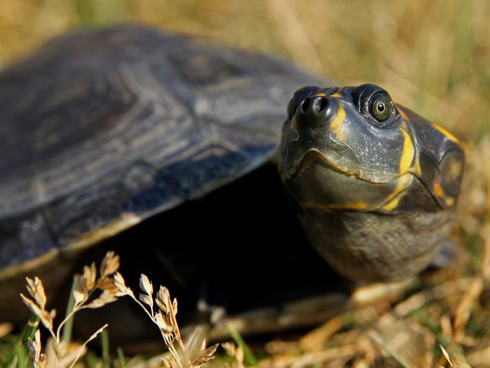Yellow-spotted River Turtle Care Sheet