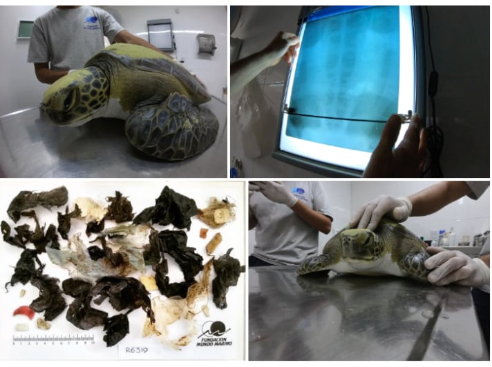 Green Sea Turtle Rescued Off Argentina Pooped Out Plastic During Rehab
