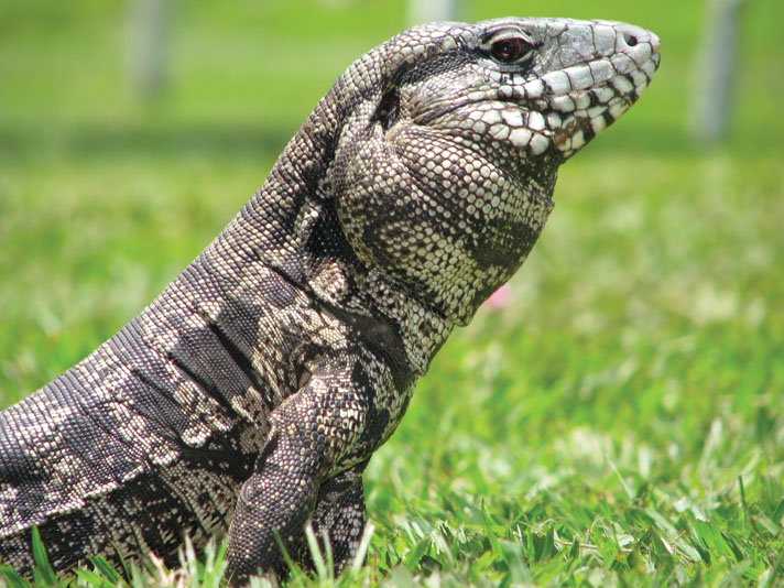 Tegu Lizard Housing And Care Information
