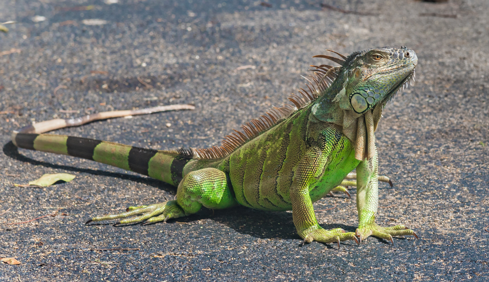 Florida Offers Free Microchipping for Banned Reptile Pets
