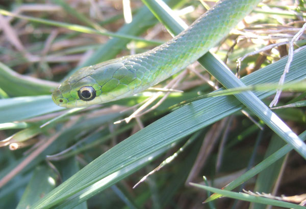 The Graceful Rough Green Snake