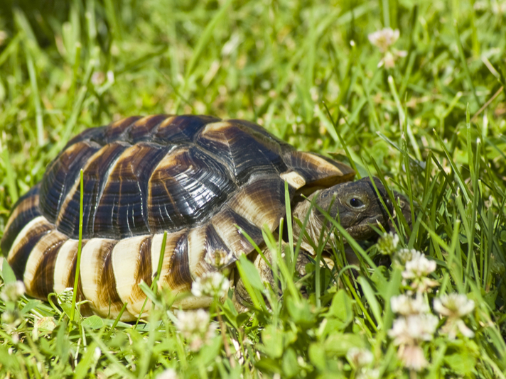Marginated Tortoise Information and Care