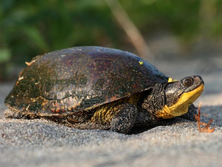 Canada Designates 75 Acres As Protected Habitat For The Blanding's Turtle