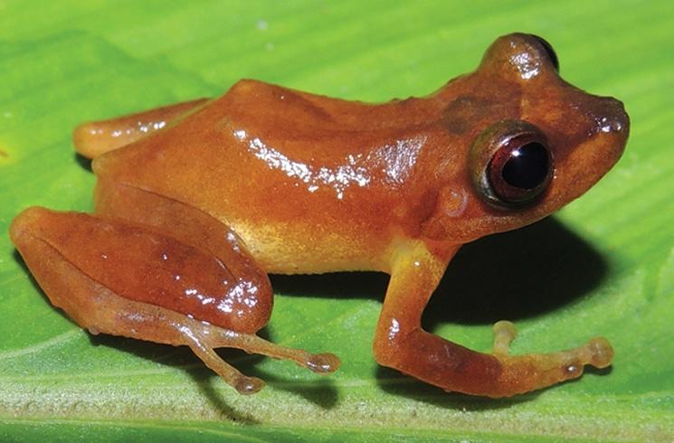 New Pristimantis Frog Species Discovered in Peru