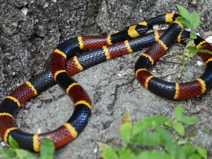 Coral Snake Antivenin In Short Supply