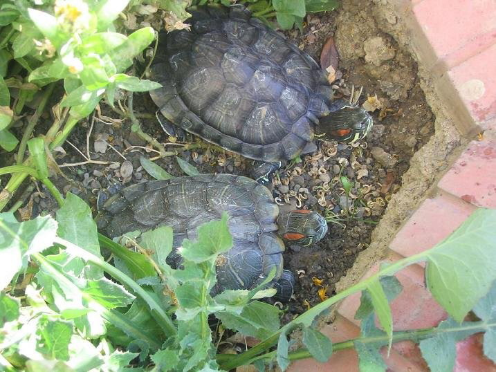 21 People Infected By Salmonella Via Pet Turtles, CDC Says