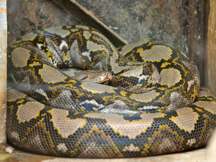 5 Facts About The Reticulated Python
