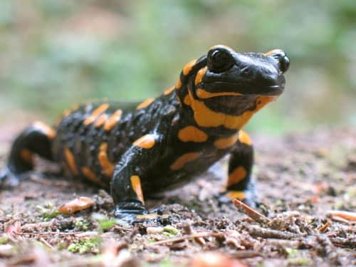 Fire Salamander Care Sheet
