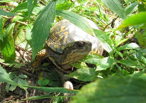 Herping The Eastern Box Turtle
