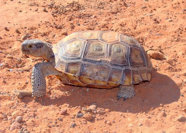 Rescuing Desert Tortoises