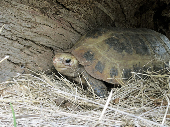 Elongated Tortoise Information And Care