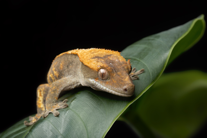 How To Build A Bioactive Enclosure For Your Crested Gecko