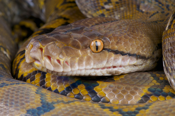 Can A Retic With Inclusion Body Disease Still Strike?
