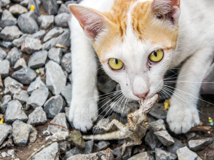 Millions Of Australian Reptiles Killed By Feral Cats Each Year, Study Says