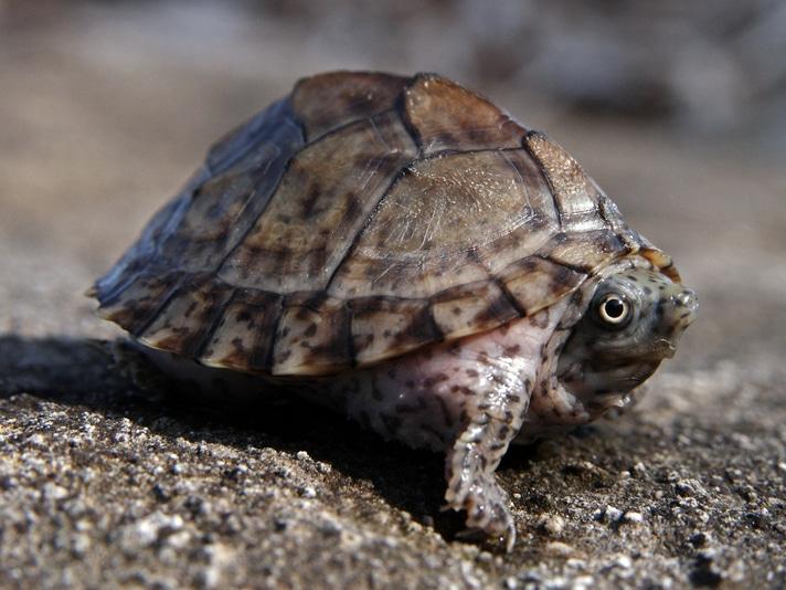 What Aquatic Turtle Can Live In A Tropical Fish Aquarium?