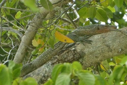 New Species Of Micronesian Varanus Monitor Lizard Described