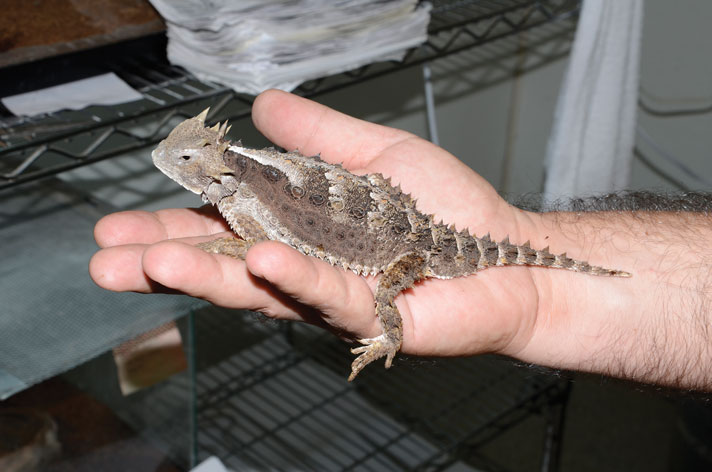 Phrynosoma asio: A Horned Lizard That Eats More Than Ants