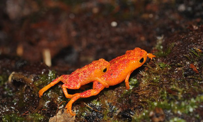 Pumpkin Toadlets Have Lost Ability To Hear Own Mating Calls