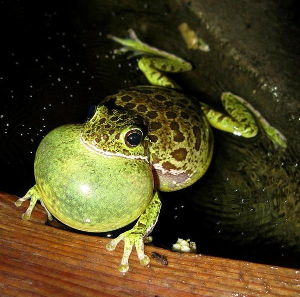 Herping The Barking Treefrog