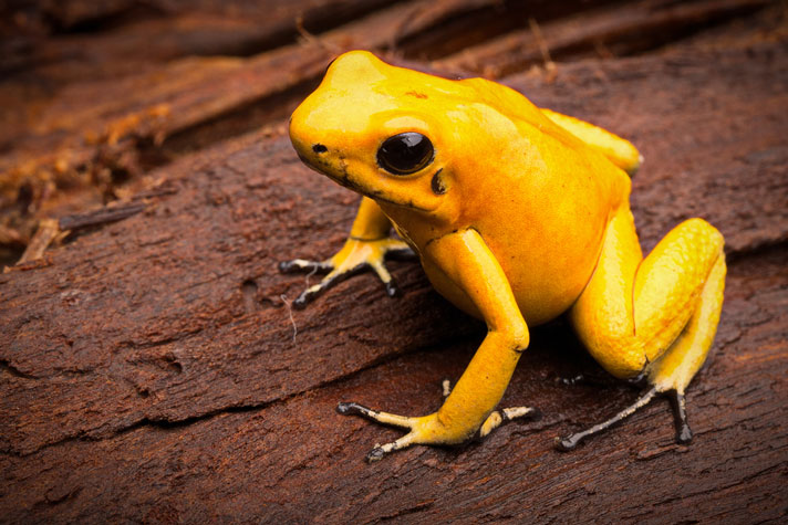 Golden Poison Dart Frog Care Sheet
