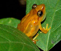 Puerto Rico's Coquí Llanero Frog Listed As Endangered Species