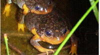 Aussie Sunset Frogs Released From Perth Zoo In Hopes Of Establishing A Population Outside Their Range