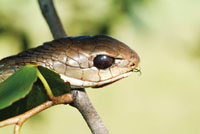 The Boomslang Snake Of Africa