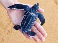 Pacific Leatherback Sea Turtle Named California State Marine Reptile
