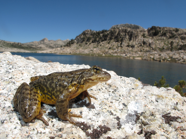 USFWS Sets Aside Land for Sierra Nevada Yellow-legged Frog and Two Other Amphibians