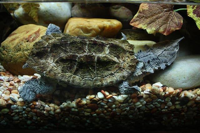 Researchers Describe New Mata Mata Turtle Species