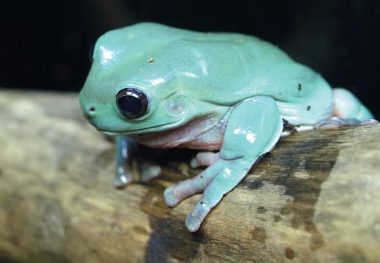White's Treefrogs