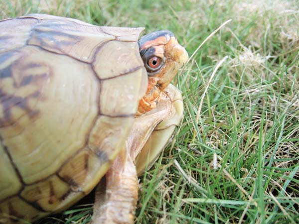 Three-toed Box Turtle Care and Information