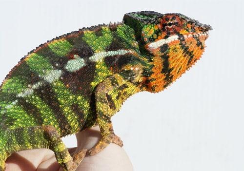 Panther Chameleon Care Sheet