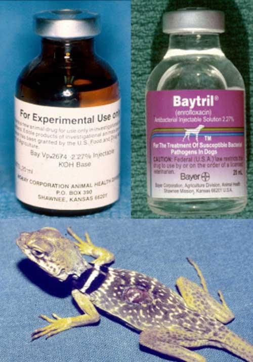 Baytril: The Overused Herp Antibiotic