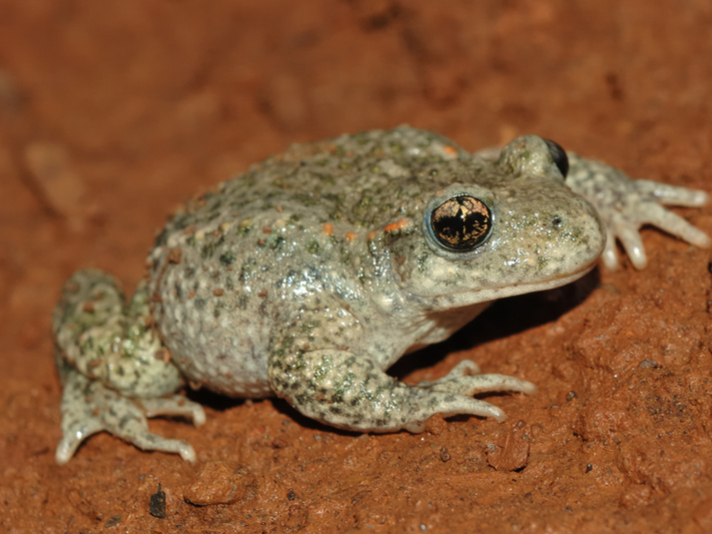 Frog Skin Mucus Can Be Tested For Chytrid Resistance