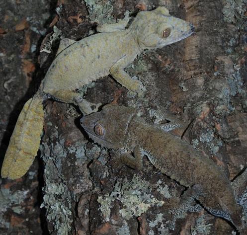 Giant Leaf-Tailed Gecko Care Sheet