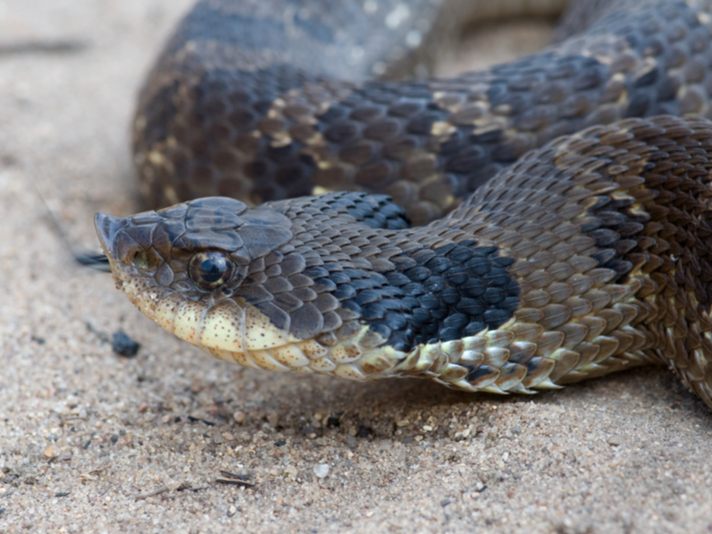 The Natural History and Captive Care of the Eastern Hognose Snake
