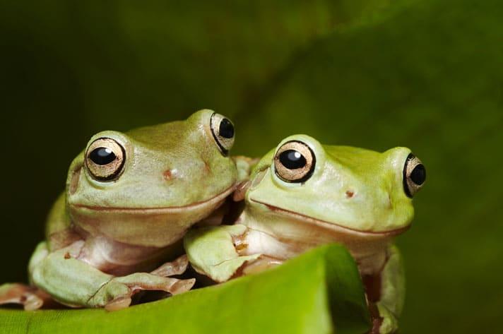White's Treefrog Care Sheet
