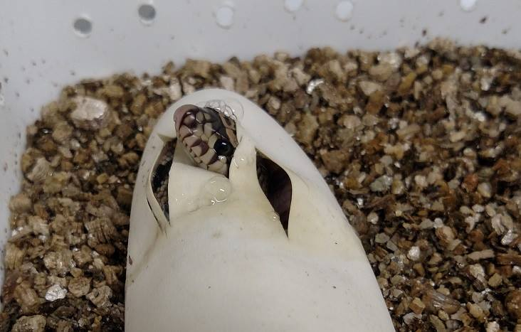 Two Critically Endangered Louisiana Pine Snakes Hatched At Florida Zoo