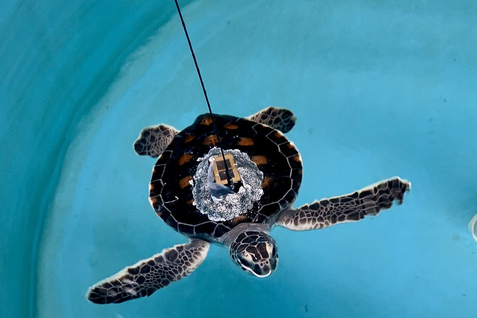 Due to COVID-19 Lockdown, Satellite-Tracking Equipped Juvenile Green Sea Turtles Released By USCG