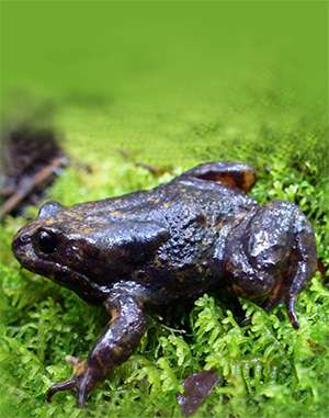 Baw Baw Frog Successfully Bred For First Time Ever At Australia's Melbourne Zoo