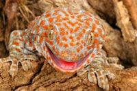 Tokay Gecko Information